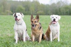 两只美国牛头犬和一只德国护羊狗 免版税库存照片