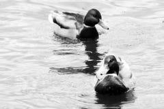 两只美好的鸭子游泳在池塘 库存图片