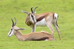 两只羚羊休息 库存图片