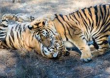 两只老虎戏剧和战斗 免版税库存图片