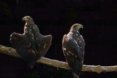 两只老鹰坐在黑暗的背景的一个树枝 免版税库存图片