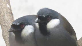两只肥胖鸟 免版税库存照片