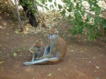 两只脱除咖啡因的猴子 免版税库存图片