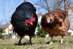 两只自由放养的母鸡在庭院里 图库摄影