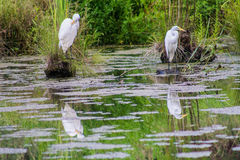 两只苍鹭在池塘 库存照片