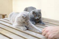 两只苏格兰人折叠猫 免版税图库摄影
