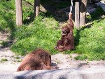 两只苏门答腊猩猩类人猿在地面上的Abelii戏剧在晴天 库存图片
