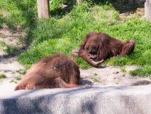 两只苏门答腊猩猩类人猿在地面上的Abelii戏剧在晴天 免版税图库摄影