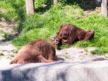 两只苏门答腊猩猩类人猿在地面上的Abelii戏剧在晴天 免版税库存照片