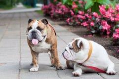 两只英国牛头犬或英国牛头犬在公园 图库摄影