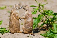 两只草原土拨鼠互相给一个亲吻 免版税库存图片