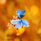 两只蓝色蝴蝶坐明亮的晴朗的黄色meado 免版税库存照片