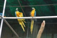 两只蓝色金刚鹦鹉一个近景  库存照片