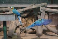 两只蓝色金刚鹦鹉一个近景  免版税库存图片
