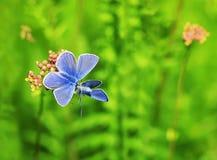 两只蓝色蝴蝶坐夏天草甸 免版税图库摄影