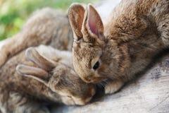 两只蓬松棕色兔子,特写镜头,浅景深,选择聚焦 复活节兔子概念 库存图片