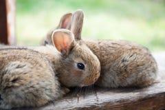 两只蓬松棕色兔子,特写镜头,浅景深,选择聚焦 复活节兔子概念 免版税图库摄影