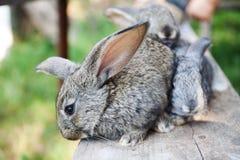 两只蓬松灰色兔子,特写镜头,浅景深,选择聚焦 复活节兔子概念 库存照片