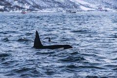 两只虎鲸Tromsø飞翅  免版税图库摄影
