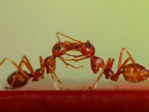 两只蚂蚁见面&亲吻 免版税库存图片