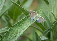 两只蛛丝飞过的蝴蝶 免版税库存照片