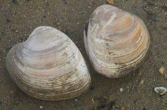 两只蛤蜊 库存照片