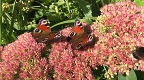 两只蛱蝶科蝴蝶坐开花的桃红色灌木在庭院里 免版税库存图片