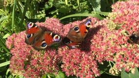 两只蛱蝶科蝴蝶坐开花的桃红色灌木在庭院里 库存照片