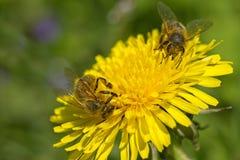 两只蜂为蜂蜜工作 免版税图库摄影