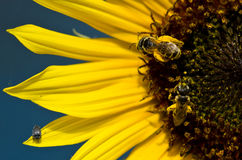 两只蜂和一个臭虫在明亮的黄色向日葵瓣 免版税库存照片