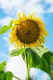 两只蜂坐一个向日葵在一个夏天 免版税库存照片