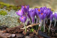 两只蜂宏指令与花粉的在春天请求接近的番红花 免版税库存照片