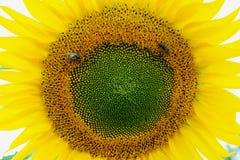 两只蜂收集在向日葵的花粉 免版税库存图片