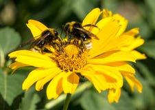 两只蜂从黄色花多年生植物翠菊收集花粉 免版税库存图片