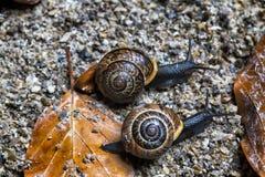 两只蜗牛与彼此竞争在秋天背景 库存图片
