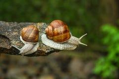 两只蜗牛在森林里 免版税库存照片