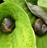 两只蜗牛太多 库存图片