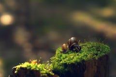 两只蜗牛清早转动了用不同的方向在树桩与青苔在森林里 免版税库存照片