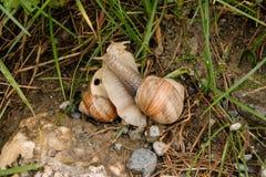 两只蜗牛联接 库存图片