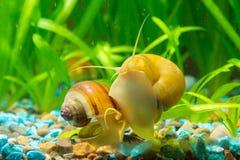 两只蜗牛Ampularia黄色和棕色镶边吃在水族馆的墙壁上的海藻 免版税库存照片