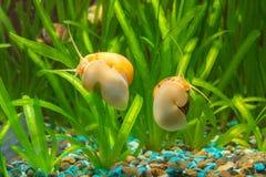两只蜗牛Ampularia黄色和棕色镶边玻璃水族馆 免版税库存照片