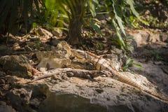 两只蜥蜴在自然生态环境密林环境里 免版税库存照片