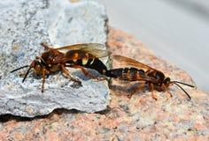 两只蝉凶手黄蜂或蝉鹰,联接 库存图片