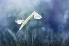 两只蝴蝶印度Zizina的奥蒂斯/较少在blady草的草蓝色 免版税库存照片
