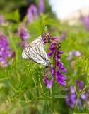 两只蝴蝶在一朵蓝色花做爱 免版税库存图片