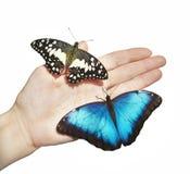两只蝴蝶,黄色和蓝色,在女孩在白色背景隔绝的` s手上 免版税库存照片