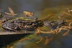 两只蟾蜍在池塘。 免版税库存照片