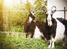 两只被察觉的山羊在农场的篱芭附近站立 免版税库存照片