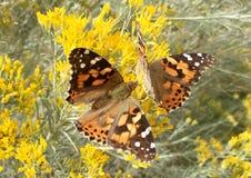 两只被绘的夫人蝴蝶在秋天 库存照片