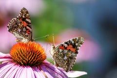 两只被绘的夫人蝴蝶接触天线 库存图片